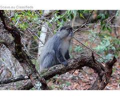 Help save South Africa's Samango monkeys! - Volunteer